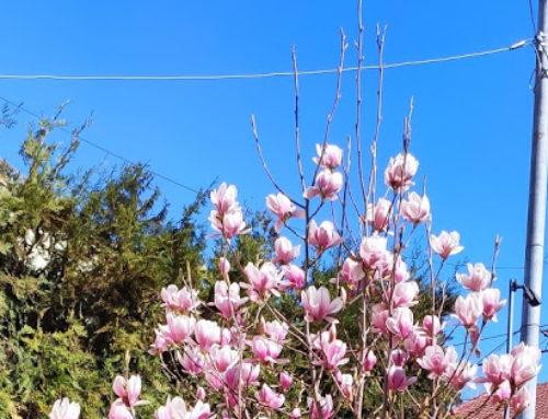 În București au înflorit magnoliile!